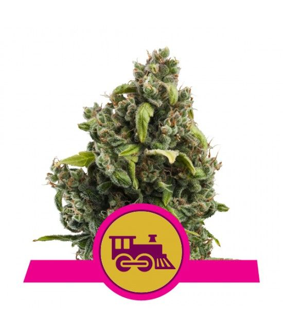 Candy Kush Express - Royal Queen Seeds  - 1