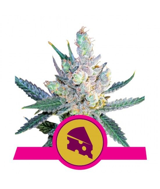 Royal Cheese - Royal Queen Seeds