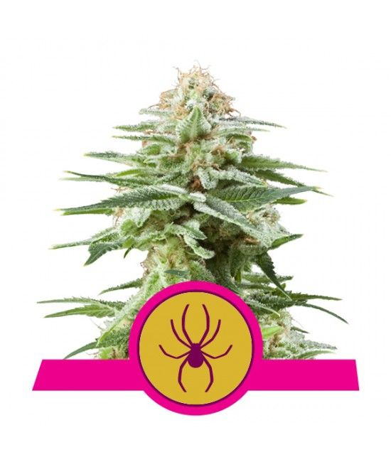 White Widow - Royal Queen Seeds  - 2