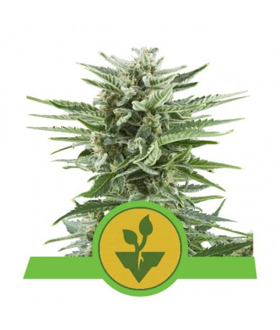 Easy Bud - Royal Queen Seeds  - 1