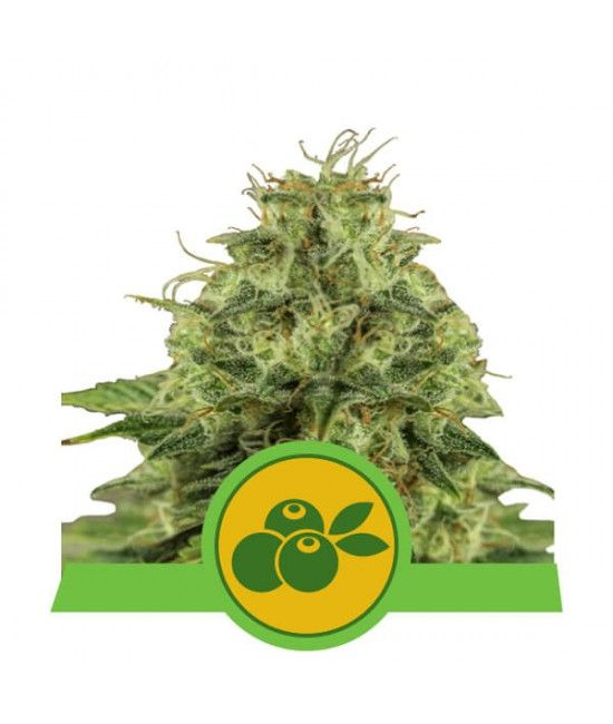 Haze Berry Automatic - Royal Queen Seeds  - 1