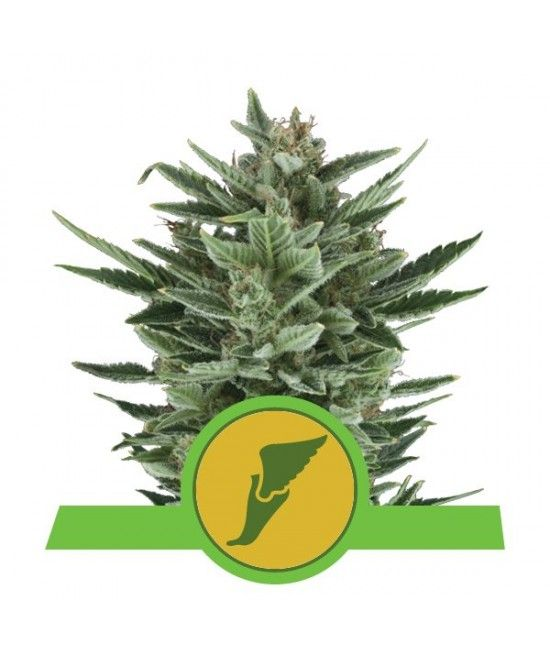Quick One - Royal Queen Seeds  - 1