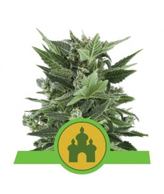 Royal Kush Automatic -Royal Queen Seeds