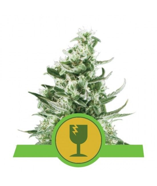 Royal Critical Automatic - Royal Queen Seeds  - 1