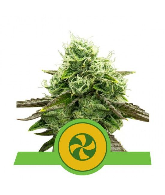 Sweet ZZ Automatic - Royal Queen Seeds