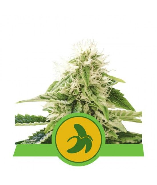 Fat Banana Automatic - Royal Queen Seeds  - 1