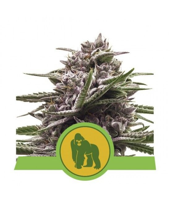 Royal Gorilla Automatic - Royal Queen Seeds  - 1