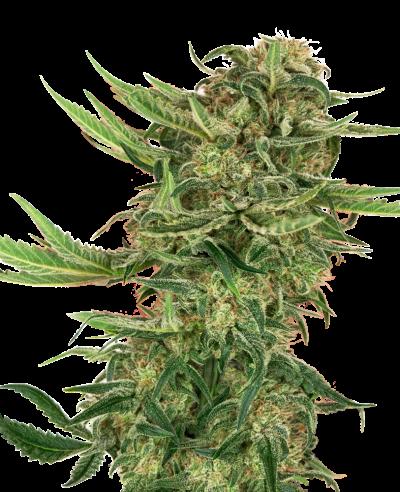 N13 Kush - Sensi Seeds  - 1