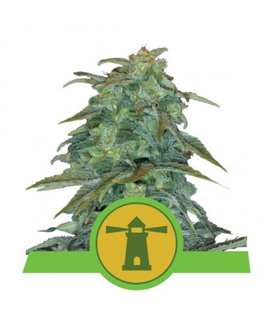 Royal Haze Automatic - Royal Queen Seeds  - 1