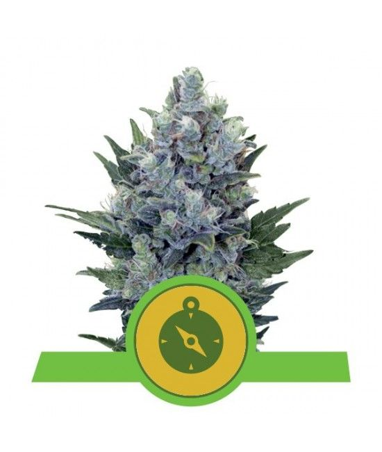 Northern Light Automatic - Royal Queen Seeds  - 1