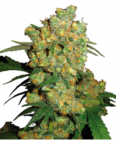 Big Bud - Sensi Seeds  - 1