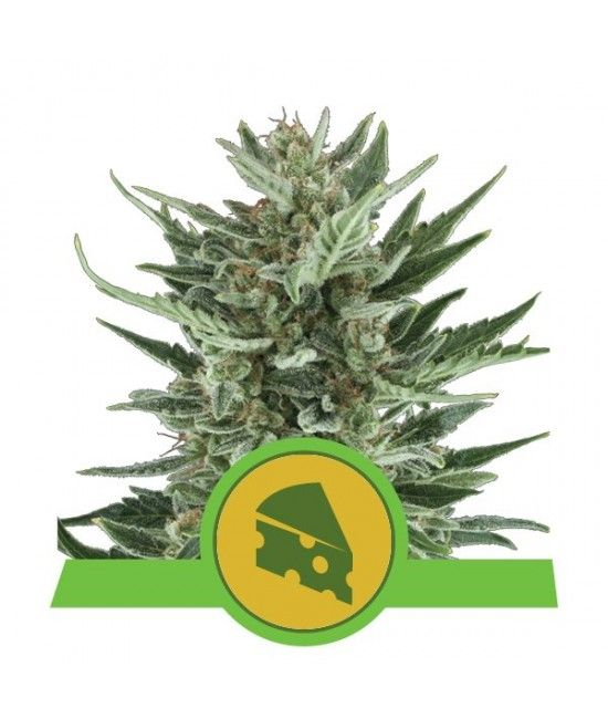 Royal Cheese Automatic - Royal Queen Seeds  - 1