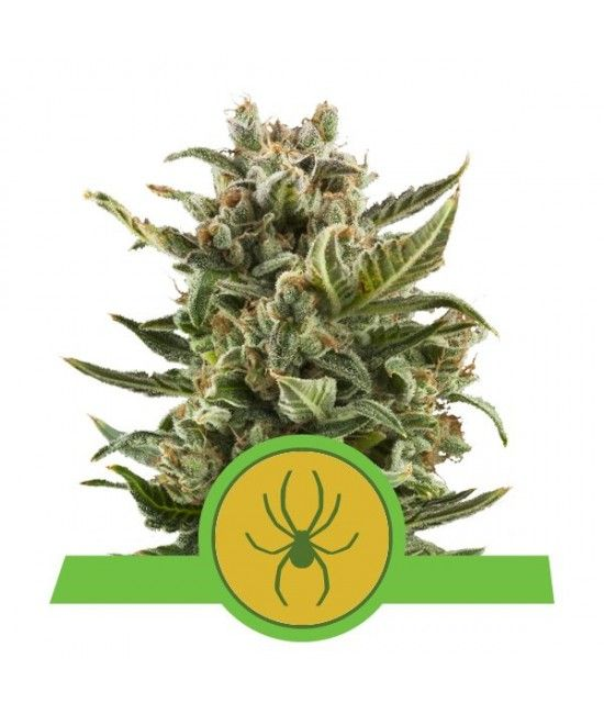 White Widow Automatic - Royal Queen Seeds  - 1