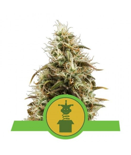 Royal Jack Automatic - Royal Queen Seeds  - 1