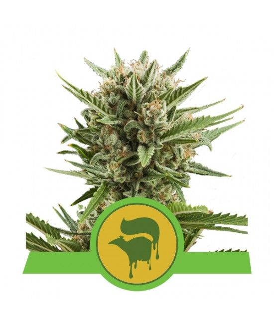 Sweet Skunk Automatic - Royal Queen Seeds  - 1