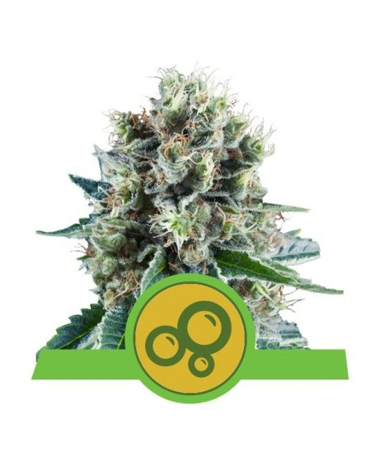 Bubble Kush Automatic - Royal Queen Seeds  - 1