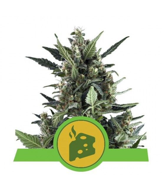 Blue Cheese Automatic - Royal Queen Seeds  - 1