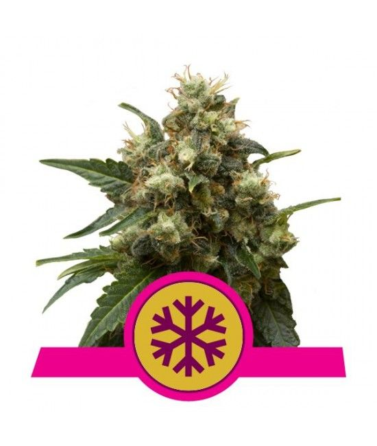 Ice - Royal Queen Seeds  - 1