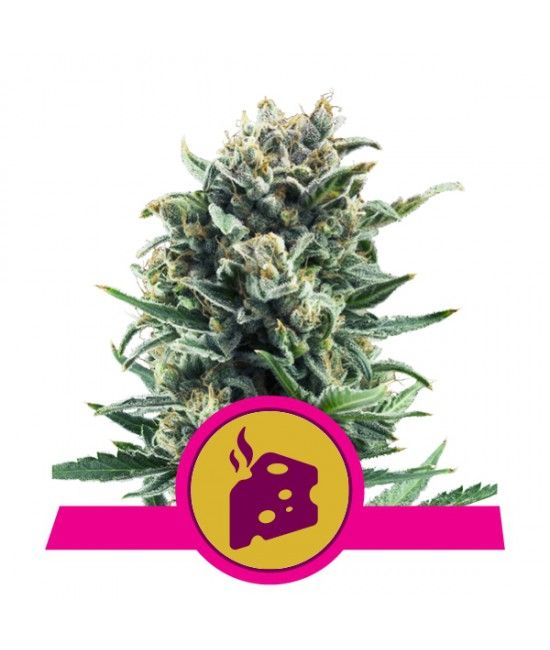 Blue Cheese - Royal Queen Seeds  - 1