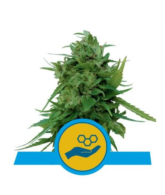 Solomatic CBD - Royal Queen Seeds  - 1