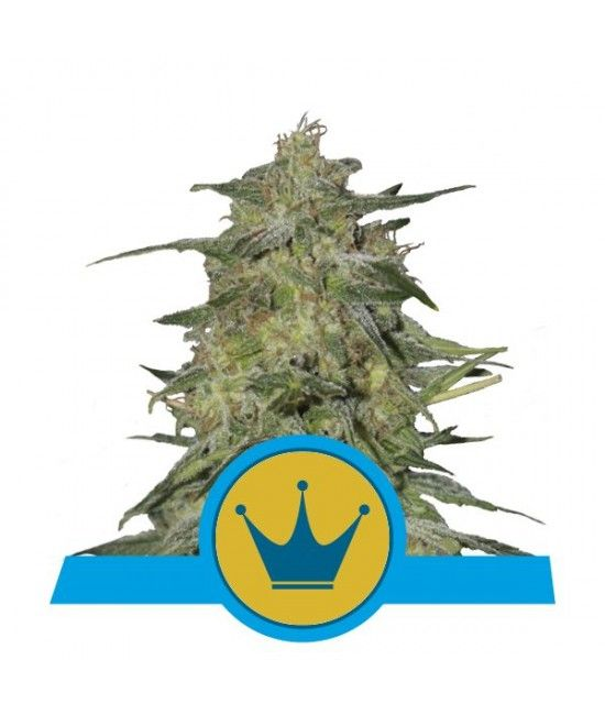 Royal Highness - Royal Queen Seeds  - 1