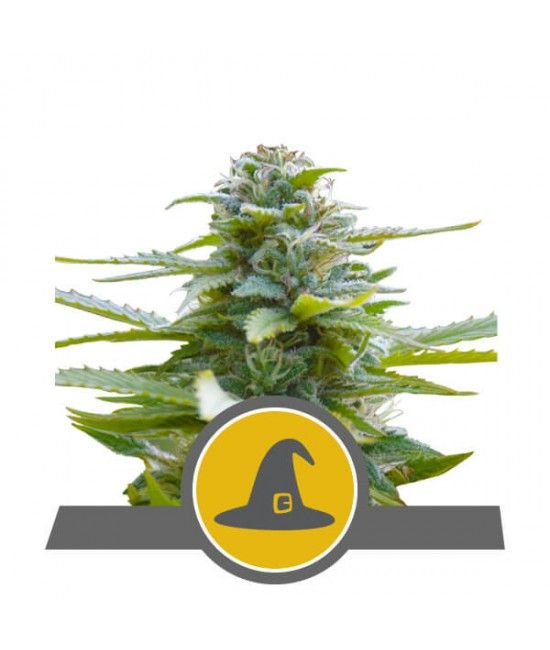Exotic Witch Regular - Royal Queen Seeds  - 2
