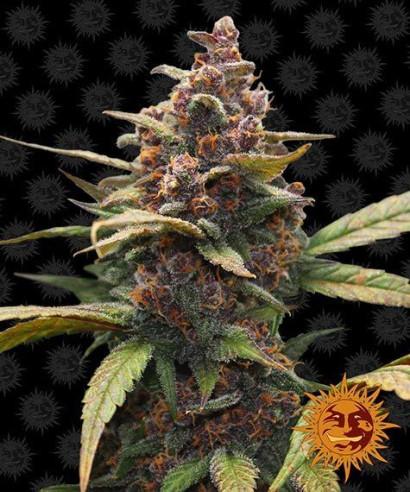 Ayahuasca purple - Barney's Farm Barney's Farm - 1