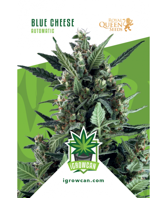 Blue Cheese Automatic - Igrowcan