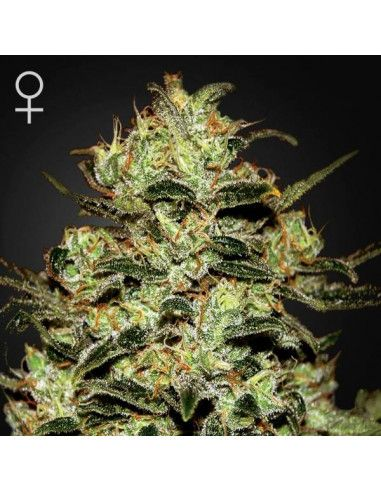 Moby dick feminized - Green house Seeds