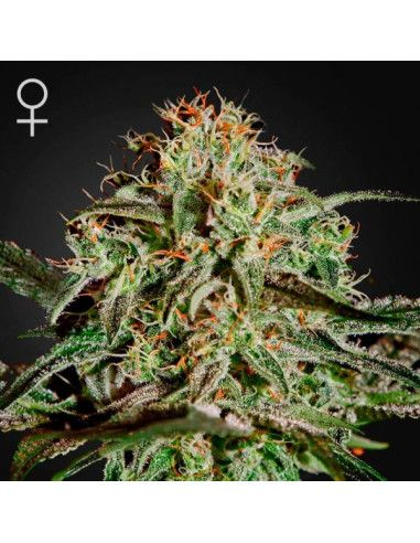 A.M.S. feminized - Green house Seeds Green House Seeds - 1