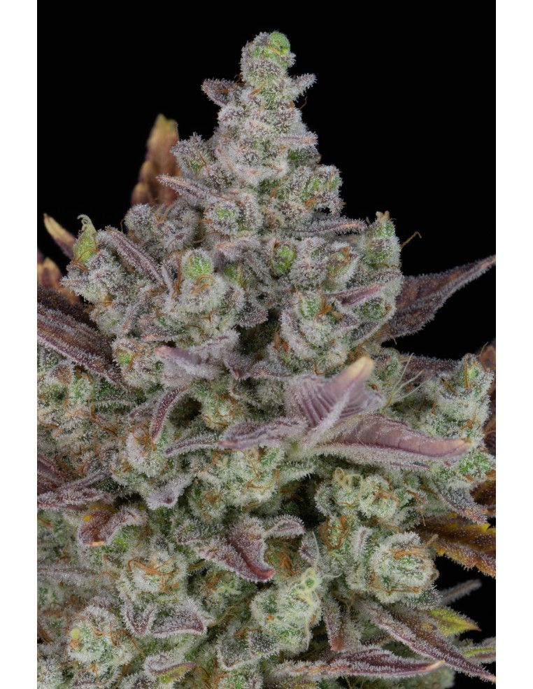 Gorilla Cookies Auto - Fast Buds Fast Buds - 1