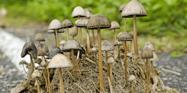 11 Odd Facts About Magic Mushrooms